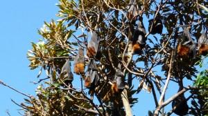 Giant Bats in Sydney, Australia