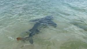 Lemon shark, Kinde Island, Nouvelle Calédonie
