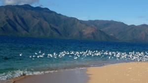 Seagulls, Kinde Island, Nouvelle Calédonie
