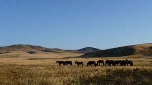 Horses in the steppes, Mongolia