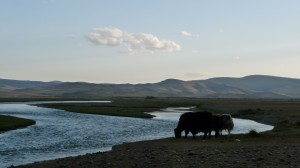 Yaks and the river