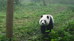 Giant panda walking
