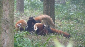 Red pandas fighting and playing