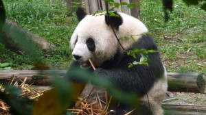 Giant panda eating bamboos, 1