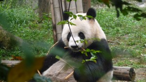 Giant panda eating bamboos, 2
