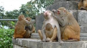 Monkeys in Swayambhunath Temple, Kathmandu, 1
