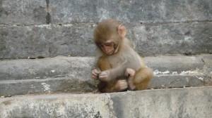 Monkey in Swayambhunath Temple, Kathmandu, 2