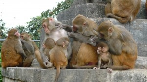 Monkeys in Swayambhunath Temple, Kathmandu, 3