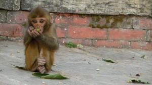 Monkey in Swayambhunath Temple, Kathmandu, 4