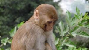 Monkey in Swayambhunath Temple, Kathmandu, 5