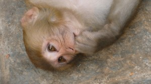 Monkey in Swayambhunath Temple, Kathmandu, 7