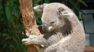 Koala-Sydney-WildLife-World-2