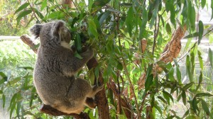 Koala at Sydney WildLife World, 1