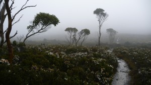 Forest and Fog, Overland Track, Tasmania