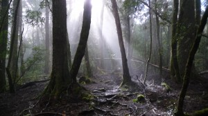 Forest, fog and god rays, Overland Track, Tasmania