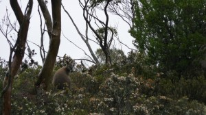 Wallaby, Overland Track, Tasmania