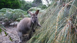 Bennett's Wallaby, Freycinet National Park, Tasmania