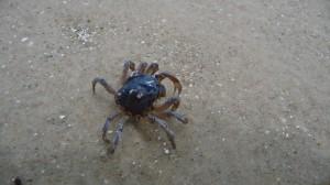Crab, Maria Island, Tasmania