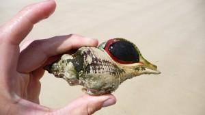 Seashell, Maria Island, Tasmania