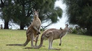 Forester kangaroo 2, Maria Island, Tasmania