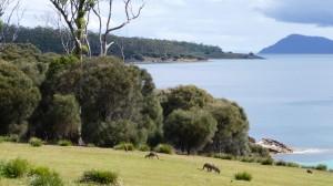 Forester kangaroo 1, Maria Island, Tasmania