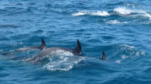 Dolphins, 2, Poor Knights Islands, New Zealand