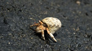 Hermit Crab 02, Namua Island, Samoa