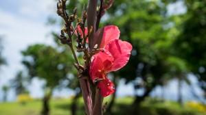 Flower 01, To Sua, Samoa