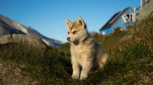 Puppy Greenland Sledge dog, Husky in Kulusuk
